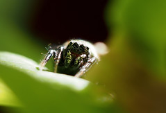 (skloi) Tags: spinne springspinne spider jumpingspider heliophanus salticidae