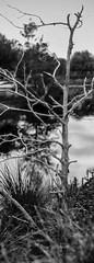 Tree over pond (b&w) (cizauskas) Tags: blackandwhite panorama tree monochrome orlando pond florida park canon manualfocus citypark canonfd fotodiox legacylens bokeh