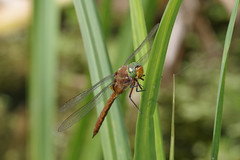Norfolk (Green Eyed) Hawker (Hugobian) Tags: dragonfly insect nature wildlife fauna norfolk green eyed hawker pentax k1 paxton pits