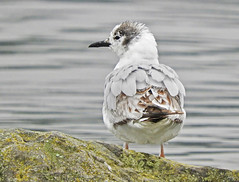 Bonaparte's Gull - Irondequoit Bay Outlet - © Eunice Thein - Jun 20, 2019