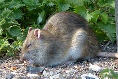 Brown Rat P1450510mods (Andrew Wright2009) Tags: langford lakes hampshire england uk wild animals brown rat