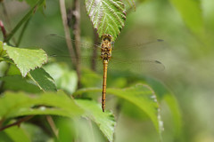 Common Darter (Hugobian) Tags: dragonfly insect nature animal macro pentax k1 paxton pits common darter