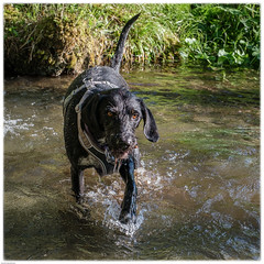 cooling down (marke59) Tags: 2019 xt3 marke59 dog tessa water natur outdoor