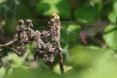In Hiding (Hugobian) Tags: dragonfly insect nature wildlife fauna norfolk green eyed hawker pentax k1 paxton pits