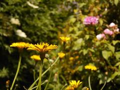 DSCN6735 (Bertrand Brisset) Tags: fleurs flowers bertrandbrisset