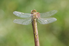 New Life (Hugobian) Tags: dragonfly insect nature animal macro pentax k1 paxton pits common darter
