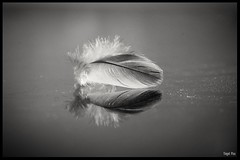 Feder / B & W (tingel79) Tags: bw blackwhite schwarzweis feder spiegelung reflection art kunst photography photographie sony sonya6500 world germany feather makro macro nahaufnahme