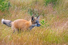 Red Fox Kit (jeff's pixels) Tags: fox kit animal baby cute bird mammal nature nikon plane train wildlife