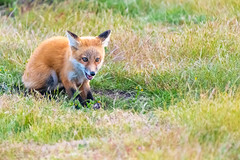 Red Fox Kit (jeff's pixels) Tags: red fox kit animal baby cute bird mammal nature nikon plane train wildlife