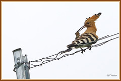 Huppe fasciée fil 190621-01-P (paul.vetter) Tags: oiseau ornithologie ornithology faune animal bird huppefasciée upupaepops eurasianhoopoe wiedehopf abubilla poupa