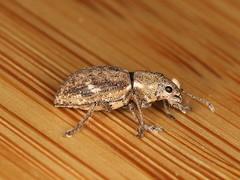 Pantomorus cervinus (dhobern) Tags: pantomoruscervinus coleoptera curculionidae entiminae aranda act australia april 2019