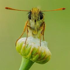 Macro insects (marianoabad1) Tags: mzuiko60mmf28macro mzuiko omdem1markii olympus butterfly mariposa insects insectos fotografíamacro macro naturaleza fotografíadenaturaleza nature naturephotography