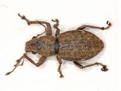 Pantomorus cervinus (dhobern) Tags: 2019 act april aranda australia coleoptera curculionidae entiminae pantomoruscervinus