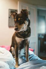 Stella...at the worst Airbnb (M///S///H) Tags: rx1 dog doggo onbed pointandshoot puppy snapshot sony sonyrx1 stella