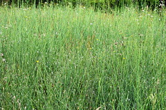 Chondrilla juncea Binsen-Knorpellattich, GroÃer Knorpellattich Rush Skeletonweed (Spiranthes2013) Tags: chondrillajuncea binsenknorpellattich groserknorpellattich rushskeletonweed asterales asternartige korbblütler asteraceae cichorioideae cichorieae chondrilla knorpellattiche becker bayern bavaria unterfranken lowerfranconia deutschland germany plant pflanze 2019 mainsande mainriversands erlenbachammain 63906 binsen rushes nature natur plantae angiospermen angiosperms eudicots eudicosiden asteriden asterids