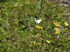 Summer Meadow (Molly Moult) Tags: summer solstice meadow butterfly flower seeds grasses nature field outdoors uk june scene