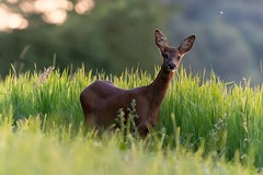 Chevrette (Capreolus capreolus) (Denis.R) Tags: chevreuil chevrette nature sauvage wildlife a7r3 a7riii alpha7r3 100400gm sony100400 france lorraine moselle denisr denisrebadj wwwdenisrebadjcom