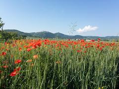 Mohnblüte (naurithron) Tags: jahreszeit sommer sport furthbeigöttweig loweraustria austria
