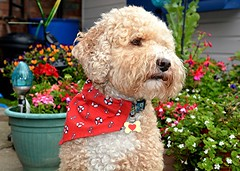 Stanley (Stuart Axe) Tags: dog cockerpoo stanley stan ralphandstanley bandana pet portrait poodle doggy puppy doggie pets