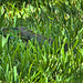 Green Iguana 20190620