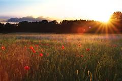 Poppy field (johaennesy) Tags: sunset poppies gegenlicht flower landscape opensourcesoftware gimp rawtherapee ruhrgebiet field
