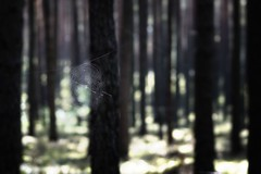 *** (pszcz9) Tags: przyroda nature natura naturaleza las forest forestimages drzewo tree pajęczyna cobweb spiderweb bokeh beautifulearth sony a77