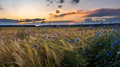 Cornflowers in barley field (rschubert98) Tags: kornblume sonnenuntergang gerste olympus mittelfranken blumen franken nature aurachtal getreide herzogenaurach landscape mzuiko124028pro naturephotography wolken abendlicht clouds flowers sunset barley