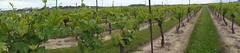 Panoramic vines (Quevillon) Tags: inniskillinwines vineyard vine winery niagaraonthelake niagara goldenhorseshoe ontario canada