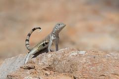 CA3I3837-Zebra-tailed Lizard (tfells) Tags: zebratailedlizard saguaronationalpark arizona sonorandesert reptile lizard herp nature wildlife tucson callisaurusdraconoides