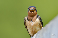 Barn Swallow (jt893x) Tags: 150600mm barnswallow bird breeding d500 hirundorustica jt893x male nikon nikond500 portrait sigma sigma150600mmf563dgoshsms swallow coth alittlebeauty thesunshinegroup coth5 sunrays5 ngc