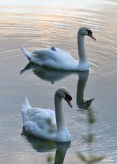 Mr & Mrs Swan (petit_filou77) Tags: swan cygne bird birds oiseaux oiseau marne noisy noisylegrand water eau rivière river nature wildlife tamron d500