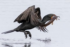 Double-crested cormorant with a gar. (zachzombiesphotos) Tags: wildlifephotography southflorida canon animalphotography wildlife cormorant bird