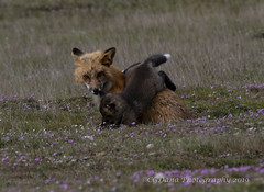 Banzai! (Vulpes vulpes) (CGDana) Tags: fox foxes fridayharbor spring baby mammal canid vulpes canon 7d mkii pugetsound