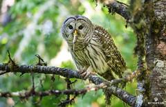 Meal Delivery Service (matthewolsonphotography.com) Tags: strixvaria barredowl owl owls bird birdwatching birding birds wildlife hunter