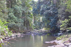 Purling Brook at the winter solstice 2019 (tanetahi) Tags: subtropical rainforest bush queensland springbrooknationalpark wintersolstice palms archontophoenixcunninghamiana