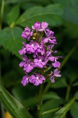 Platanthera psycodes (Small Purple Fringed orchid) (jimf_29605) Tags: platantherapsycodes smallpurplefringedorchid blueridgeparkway nationalpark northcarolina wildflowers orchids sony a7rii 90mm