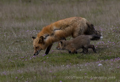 Vixen and kit (Vulpes vulpes) (CGDana) Tags: fox foxes fridayharbor spring baby mammal canid vulpes canon 7d mkii pugetsound