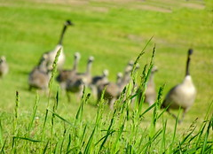 Startled family of geese dashing to the lake (+5) (peggyhr) Tags: peggyhr geese dof wildgrass dsc03055a bluebirdestates alberta canada canadageese orchardgrass carolinasfarmfriends dslrautofocuslevel1 super~sixbronze☆stage1☆ dslrautofocuslevel2 dslrautofocuslevel3