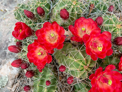 claret cup cacti Dalla (maryannenelson) Tags: colorado durango june claretcupcacti red blossoms cacti cactus flower