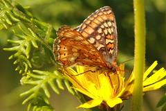 Marsh fritillary (jon lees) Tags: butterfly marshfritillary murloughnnr countydown northernireland