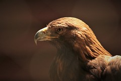 Golden Eagle - Carolina Raptor Center (hennessy.barb) Tags: eagle goldeneagle carolinaraptorcenter raptor birdofprey bird predator aquilachrysaetos