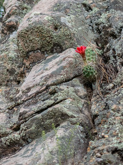 lonely claret cup in a rock (maryannenelson) Tags: colorado durango june claretcupcacti red blossoms cacti cactus flower