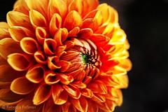 Sunset colors. #Takoma #dc #dclife #washingtondc #canon #rebelxs #realcamera #Canon #EFS60mm #macro  #flower #flowersofinstagram (Kindle Girl) Tags: realcamera takoma dc dclife washingtondc canon rebelxs efs60mm macro flower flowersofinstagram
