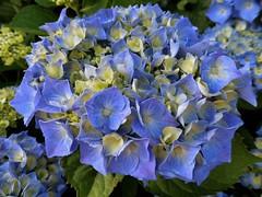 Hortensien (Hannelore_B) Tags: blume flower hortensie hydrangea blau blue