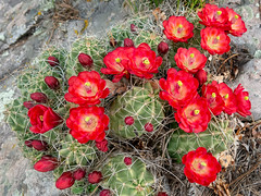 large clump of claret cup cacti (maryannenelson) Tags: colorado durango june claretcupcacti red blossoms cacti cactus flower
