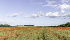 Poppy Fields (A Journey With A New Camera) Tags: poppy poppyfield poppies red redblooms wildflowers flowers dorset uk