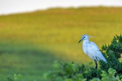 Little Blue Heron (Beangrau) Tags: littleblueheron bird shorebird avian oceancitynewjerseywelcome center nikon500 tamron18400 tree marsh