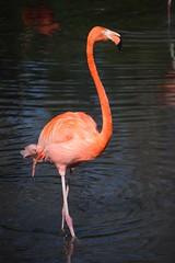 (limeyakphoto) Tags: flamingo zoo bronxzoo animal animalphotography