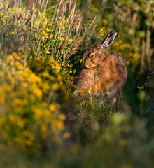 Brown Hare (RobertSims2k) Tags: brownhare brockholes