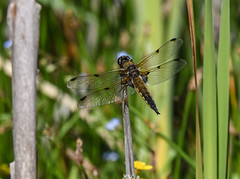 Free Parking (Grumpys Gallery) Tags: fourspottedchaser dragonflies insects nature wildlife